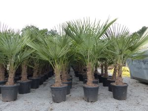 Palme XL 140-160 cm Trachycarpus fortunei, Hanfpalme, winterhart bis -18°C