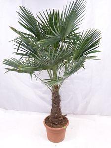 """[Palmenlager] -XXL Winterharte Palme XXL Stamm 40-50 cm - Trachycarpus fortunei """"Chinesische Hanfpalme"""" 160-170 cm"""