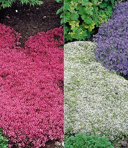 Winterharter Bodendecker Thymian-Kollektion rot und weiß 6 Pflanzen Thymus Polsterthymian Thymian Pflanzen winterhart