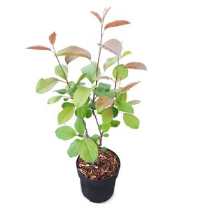 Dwergappelboom   Malus \'Appletini\' - Buitenplant in Kwekerspot ⌀13 cm - ↕15-20 cm
