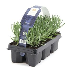 48Pflanzen Lavandula angustifolia Staude Lavendel