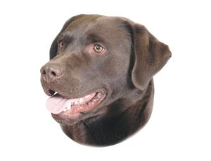 Nobby Aufkleber Labrador Braun 120 x 150 mm; 2er Set