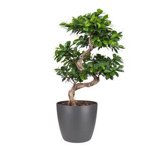 Bonsai von Botanicly – Bonsai in anthrazitfarbenem Übertopf als Set – Höhe: 60 cm – Ficus Gin Seng