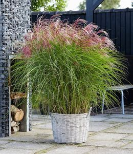 "Miscanthus ""Red Cloud®"", 1 Pflanze Chinaschilf Ziergras winterhart"