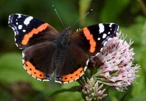 3 D Ansichtskarte Schmetterling, Admiral, Postkarte Wackelkarte Hologrammkarte Tiere Tier Falter