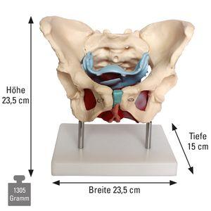 Knöchernes weibliches Becken-Modell, Anzahl: 1 Stück