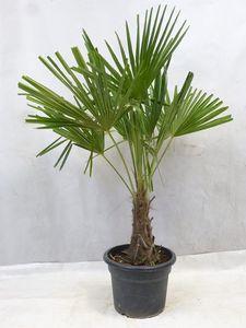 [Palmenlager] - Winterharte Palme -Trachycarpus fortunei- 150/170 cm - Stamm 30 cm/Chinesische Hanfpalme - 17°C