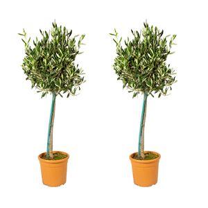 Bloomique | Olivenbaum am Stiel - Olea Europaea pro 2 Stück - Freilandpflanze im Gärtnertopf ⌀19 cm - Höhe ↕80-100 cm