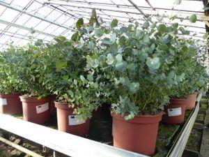 XXL Eucalyptus Gunni Gunnii Busch Eukalyptusbaum 70 - 90 cm, Pflanze winterhart