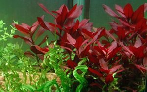 Aquarium Pflanze Ludwigia repens 'Rubin' Tropica Nr.033D