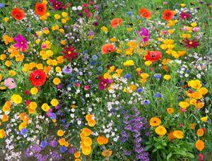 Bienenweide ca. 1000 Samen