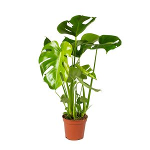 Lochpflanze | Monstera \'Deliciosa\' pro Stück - Zimmerpflanze im Kinderzimmertopf cm17 cm - ↕65 cm