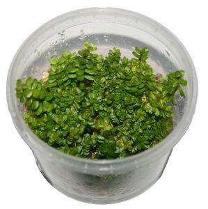 1 Dose Rotala rotundifolia in vitro, Wasserpflanzen steril angezogen
