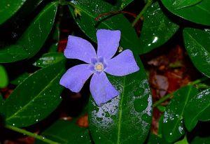 Vinca minor 50 St. Marie blau Immergrün Triebe 5/7 Bodendecker winterhart