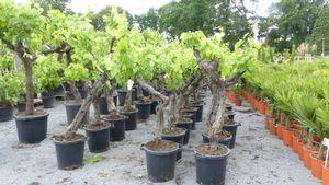 Vitis Vinifera Hochstamm 160 - 200 cm Weinstock Weinrebe Weintraube Traube