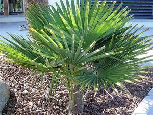 RARITÄT Frostharte Hanfpalme Trachycarpus Ukhrulensis bis 160cm. bis -20 Grad