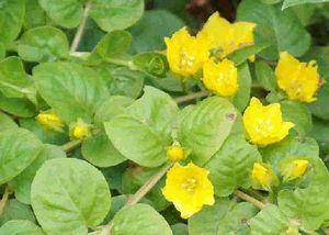 1 Bund gelbes Pfennigkraut, Lysimachia nummularia