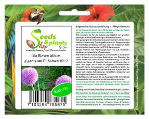 15x Lila Riesen Allium giganteum F1 Lauch Garten Pflanzen - Samen #212