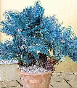 Frostharte Blaue Zwergpalme bis 90 cm Chamaerops humilis Cerifera bis -10 C.