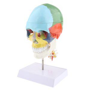 1: 1 Farbiger, 22 Teiliger Menschlicher Schädel Mit Anatomischen Modellen
