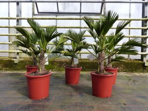 Palme winterhart 60 - 90 cm Trachycarpus Wagnerianus Wagner Hanfpalme,