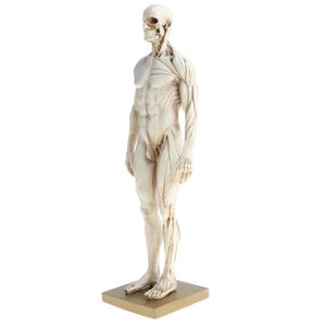 11 Zoll Männliche Anatomie Figur Modell Anatomische Referenz Für Künstler - Weiß