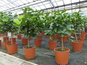 Grünwaren: Limette Limettenbaum 'Aurantifolia' Citrus Lime 70 - 90 cm Zitruspflanze