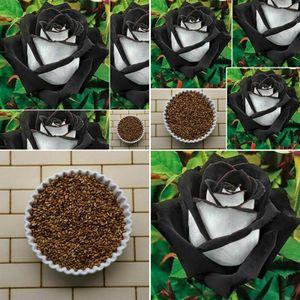 100 STÜCKE Erstaunliche Rose Samen Seltenes Schwarzes Mit Weißen Rose