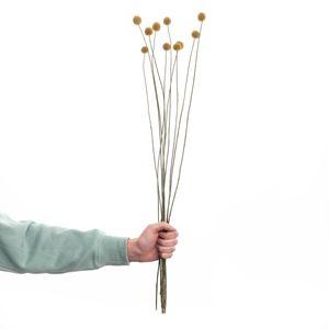 BUTLERS FLOWER MARKET Trockenblumen Craspedia Länge 70cm