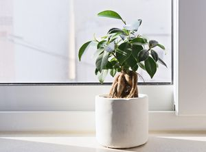 Ficus Ginseng S-vorm in Siermand- P21H71