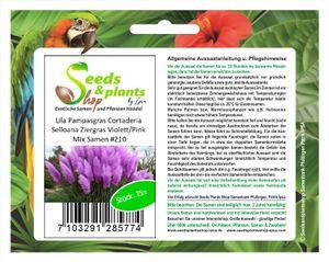 25x Pampasgras Cortaderia Selloana Violett Pink Ziergras Samen #210