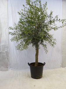 [Palmenlager] - Olivenbaum Olea europea - 180 cm - dicker Stamm 20/25 cm Umfang - Pot 30 ltr.