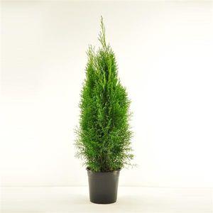 Thuja occidentalis Smaragd 80-100 cm SMARAGD LEBENSBAUM
