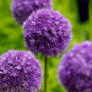1 x Allium 'His Excellency' 1 Liter (Zierlauch) SELTENHEIT