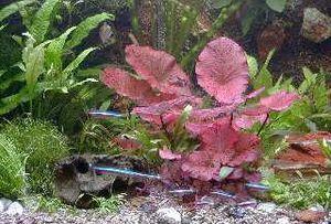Mühlan - Anti-Algen-Set - 40 schnellwachsende Pflanzen +  2 Tigerlotus