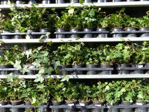 25 Stück Efeu Hedera helix 20 - 35 cm Heckenpflanze winterhart Kletterpflanze Hecke Sichtschutz blickdicht
