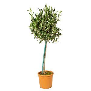 Bloomique | Olivenbaum am Stiel - Olea Europaea pro Stück - Freilandpflanze im Gärtnertopf ⌀19 cm - Höhe ↕80-100 cm