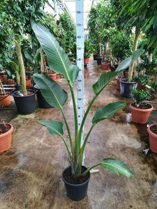 Strelitzia nicolai 150-160 cm Baumstrelitzie Baum-Paradiesvogelblume