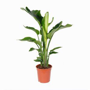 Strelitzia \'Nicolai\' pro Stück - Paradiesvogel Pflanze   Zimmerpflanze im Aufzuchttopf ⌀21 cm - ↕85-95 cm