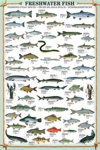 Freshwater Fish Kunstdruck Süsswasserfische 91,5 x 61 cm