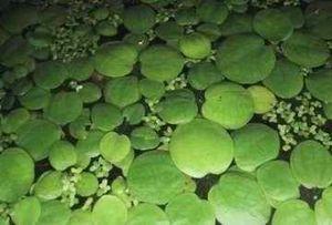 10 x Froschbiss (Limnobium laevigatum), Südamerika