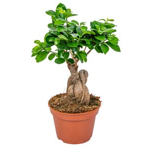 Bonsai Baum   Ficus \'Ginseng\' pro Stück - Zimmerpflanze im Aufzuchttopf cm15 cm - ↕35 cm