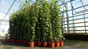 30 Stück Efeu Hedera helix 150 - 180 cm Pyramide Säule winterhart Kletterpflanze Hecke Sichtschutz blickdicht