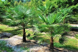 Extrem Frostharte Trachycarpus geminisectus bis 160cm Frosthart bis -19 Grad